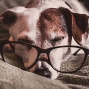 Older Jack Russell wearing glasses