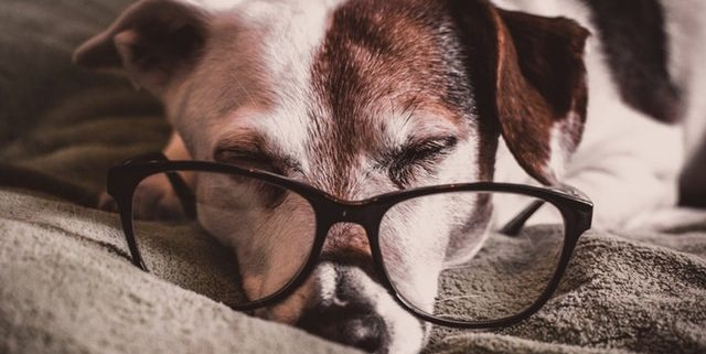 Older Jack Russell wearing glasses